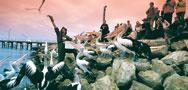 pelican feeding kangaroo island
